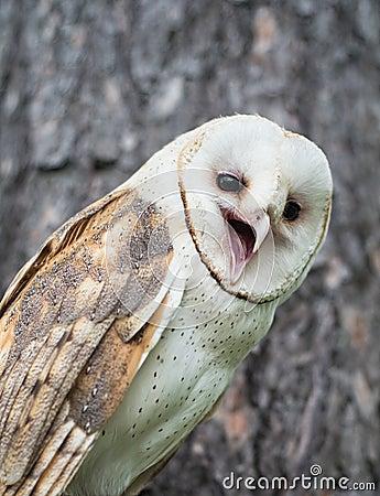 Free Barn Owl Stock Photos - 73008393