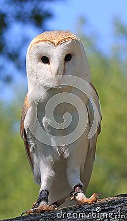 Free Barn Owl Stock Photo - 9650950
