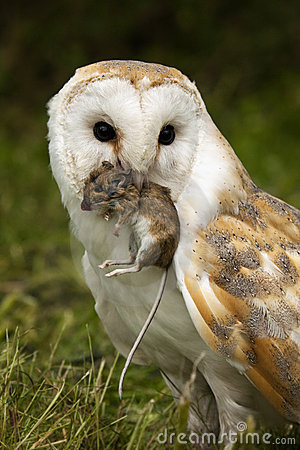 owl catching the mouse - photo #7