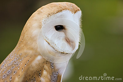 Barn Owl or Common Barn Owl
