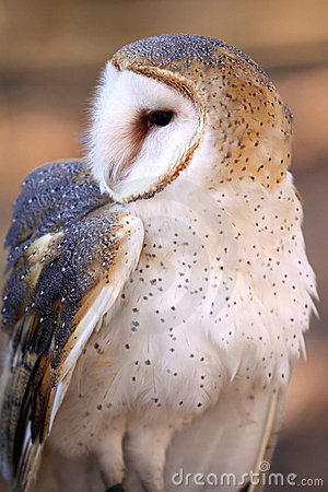 Barn Owl - Inquisitive