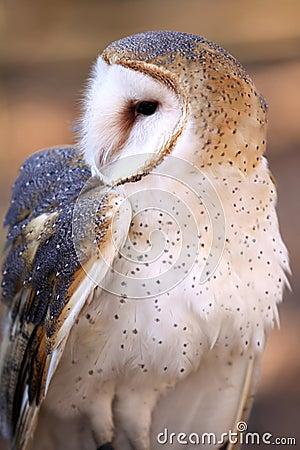 Barn Owl - Inquisitive