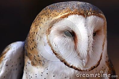 Barn Owl - intense gaze