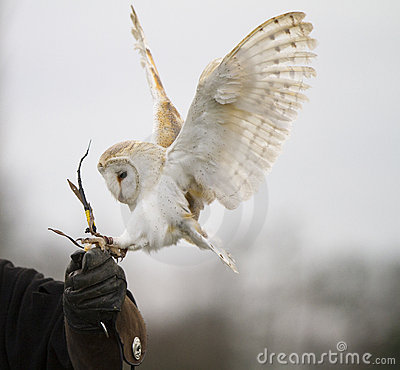 Free Barn Owl Landing On Glove Stock Photos - 20502883
