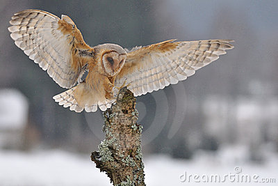 Barn owl landing to spike