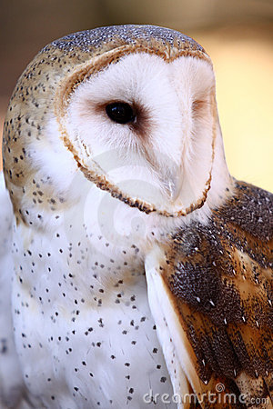 Barn Owl - Majestic