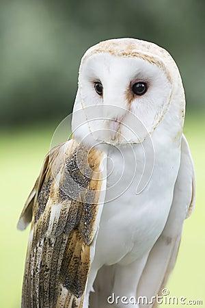 Barn Owl Stock Photo - Image: 55378832