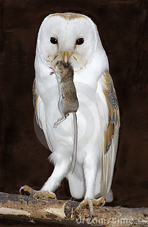 Barn Owl With Prey Stock Photo - Image: 135100