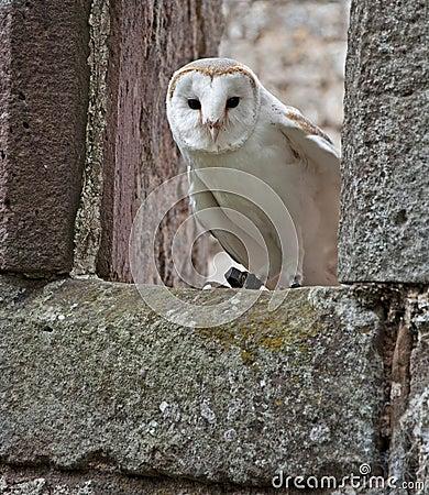 Barn Owl in a ruined church