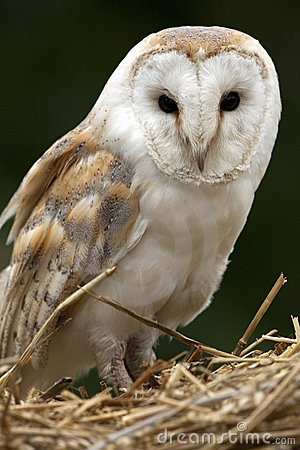 Barn Owl - Scotland
