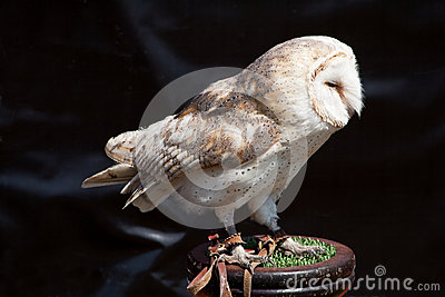 Barn Owl on stand