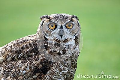Horned Owl staring