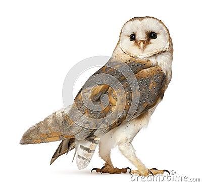 Free Barn Owl, Tyto Alba Stock Image - 24991511