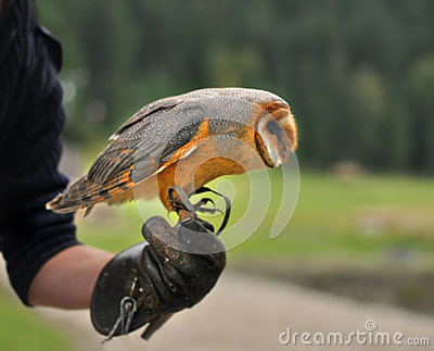 The Barn Owl  Tyto alba