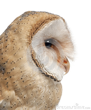 Barn Owl, Tyto alba, 4 months old, close up