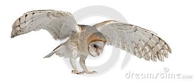 Barn Owl, Tyto alba, 4 months old, flying