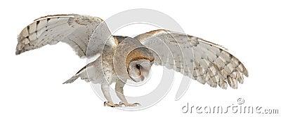 Barn Owl, Tyto alba, 4 months old, flying