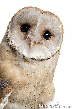 Barn Owl, Tyto alba, 4 months old, portrait