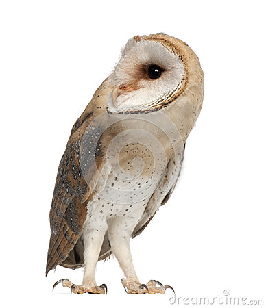 Barn Owl, Tyto alba, 4 months old, standing