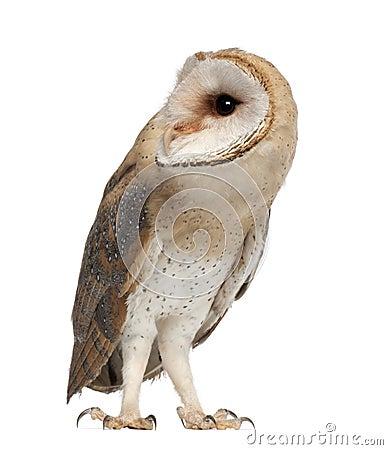 Barn Owl, Tyto alba, 4 months old, standing