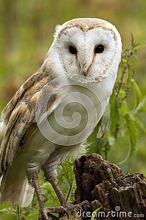 Barn Owl (Tyto alba) - England