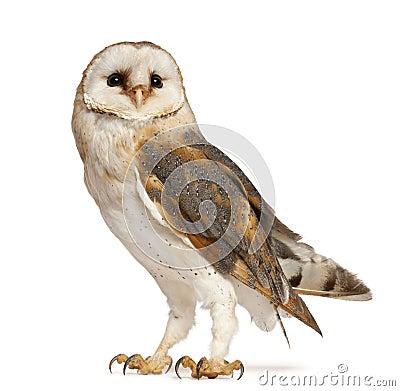 Barn Owl, Tyto alba, standing