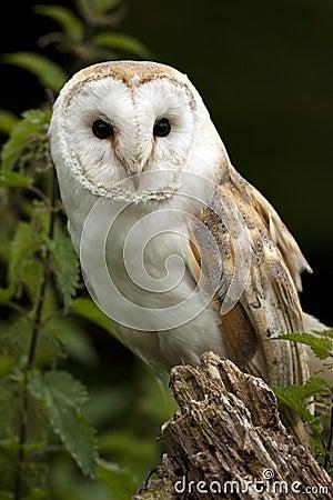 Barn Owl (Tyto alba) - United Kingdom