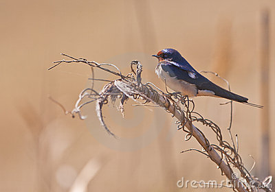 A Barn Swallow on a twig
