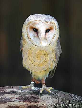 Barn - Tyto alba