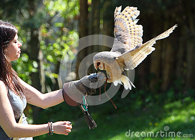 Barn - Tyto alba - owl landing on falconers hand Editorial Image
