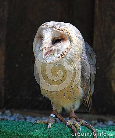 Barn - Tyto alba - owl posing