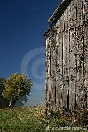 Barn, Vine, and blue sky - Vertical
