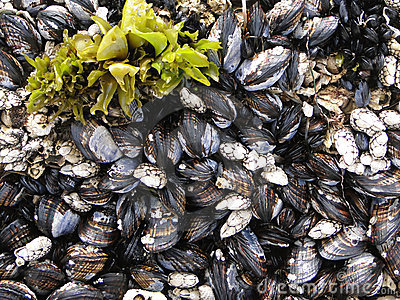 Barnacles And Mussels Stock Image - Image: 1