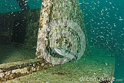 Barraccuda on a wreck - Andaman Sea