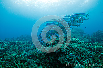 Barracuda in group