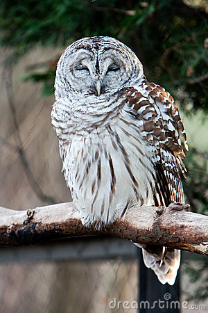Barred Owl on branch