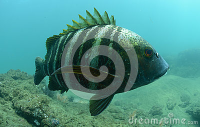 Barred pargo fish underwater in pacific ocean