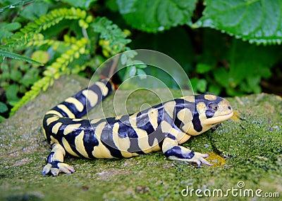 Barred Tiger Salamander, Ambystoma mavortium
