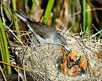 Barred Warbler, Sylvia nisoria, male