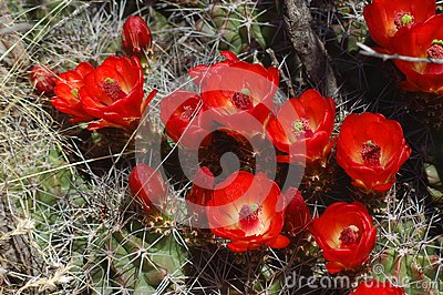 Barrel Cactus With Blooms