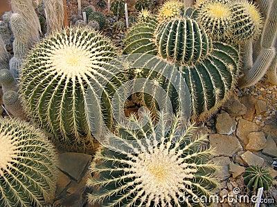 Barrel cactus Echinocactus grusonii