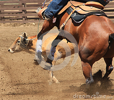 A rodeo horse roping a cow.