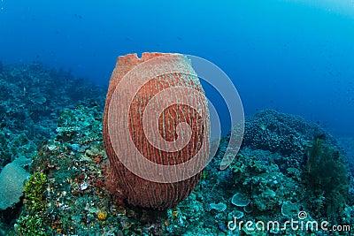 Barrel sponge in tropical coral reef