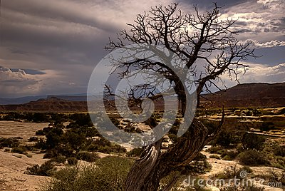 Barren southwestern tree