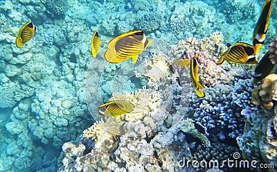 Barriera corallina subacquea del pesce della farfalla di for Pesce rosso butterfly