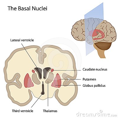 The basal nuclei of the brain