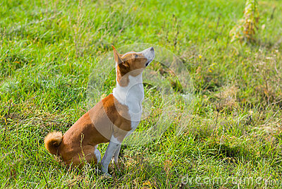Basenji dog is looking up on the sky
