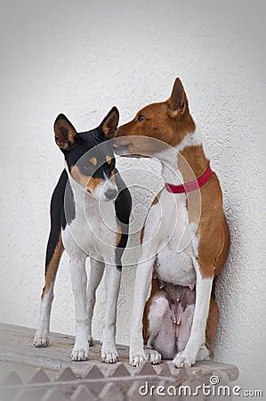 Basenji dogs kiss