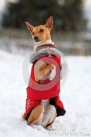 Basenjis dog