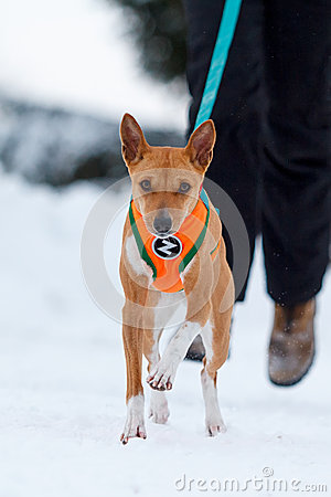 Basenjis dog in winter